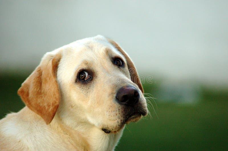 Labrador-Welpe stockbilder