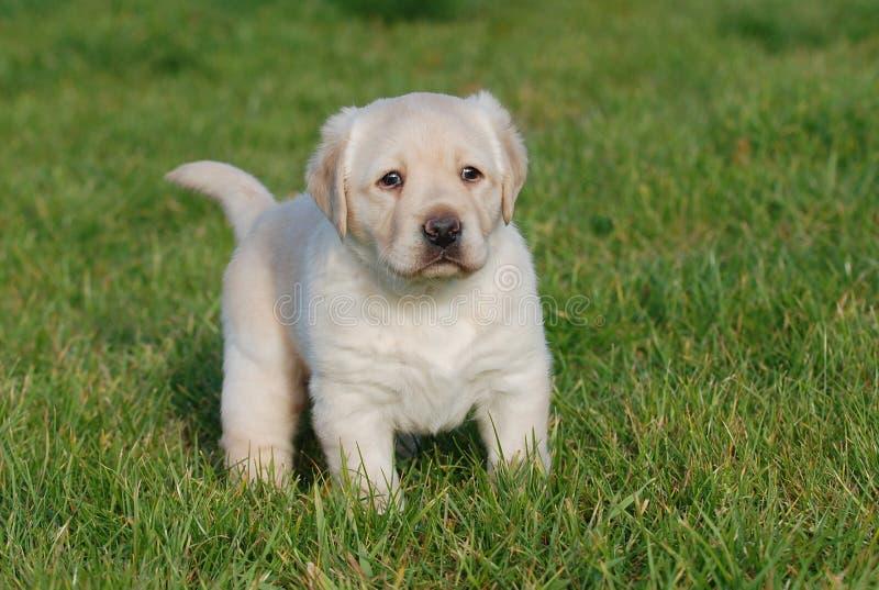 Labrador-Welpe lizenzfreie stockfotografie