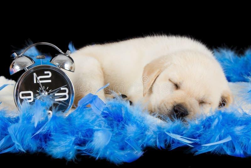 Labrador-Welpe, der auf blauen Federn mit Wecker schläft stockfoto