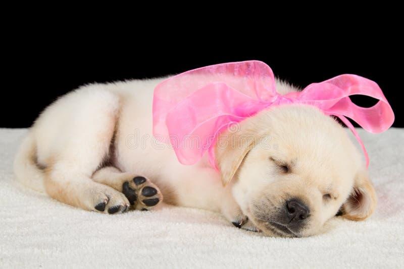 Labrador-Welpe, der auf Decke mit rosa Band schläft lizenzfreies stockbild