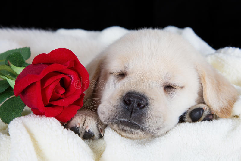 Labrador-Welpe, der auf Decke mit Rotrose schläft stockfotografie