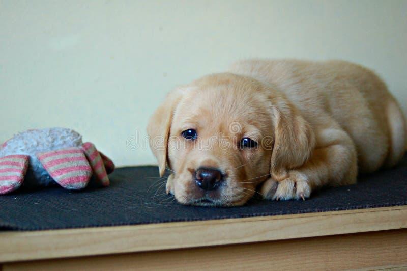 Labrador-Welpe, der mit Pressungsspielzeug niederlegt stockbilder