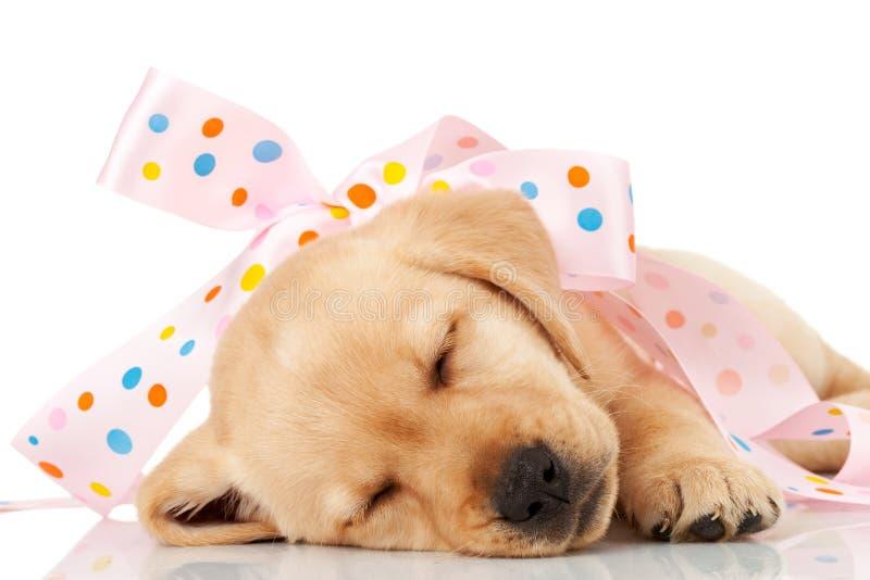 Labrador-Welpe eingewickelt in einem rosafarbenen Farbband lizenzfreies stockbild