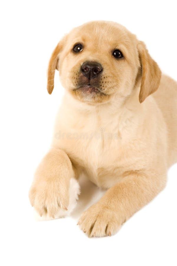 Labrador-Welpe mit Pelzkugel lizenzfreie stockbilder