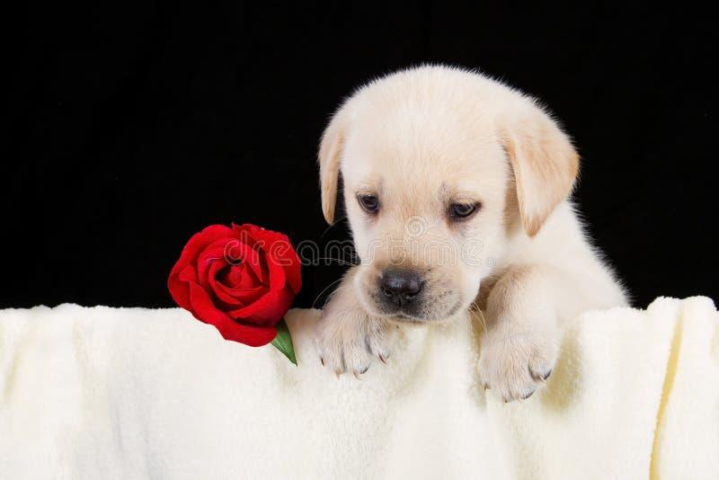 Labrador-Welpe mit Rotrose in der Decke stockbild