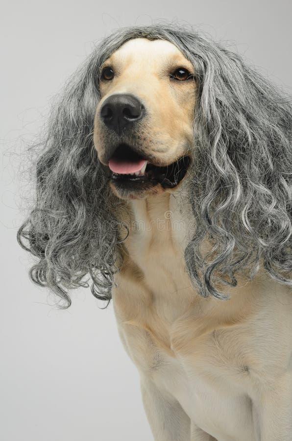 Labrador in a wig stock photo