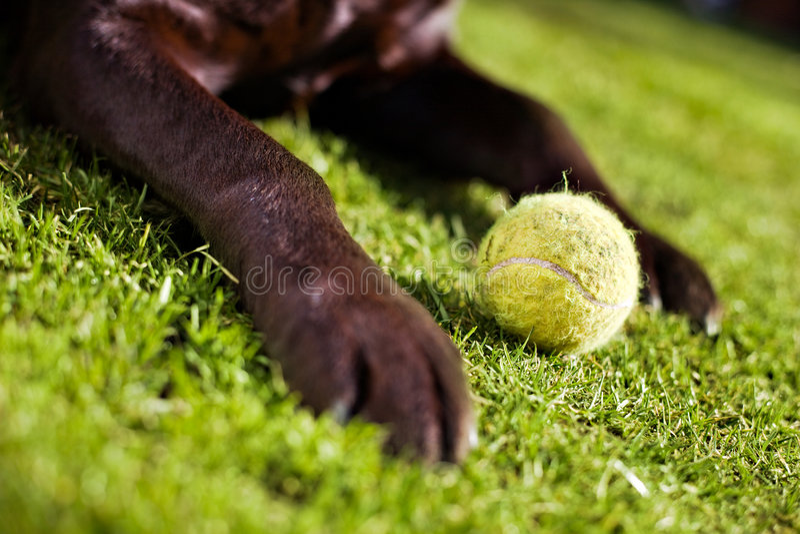 Labrador y bola imagenes de archivo