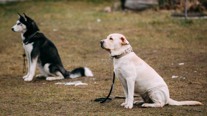 Labrador y los perros fornidos se sienta en la tierra durante fotos de archivo libres de regalías