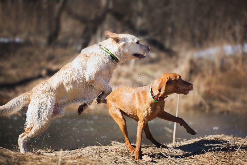 Labrador y ridgeback foto de archivo