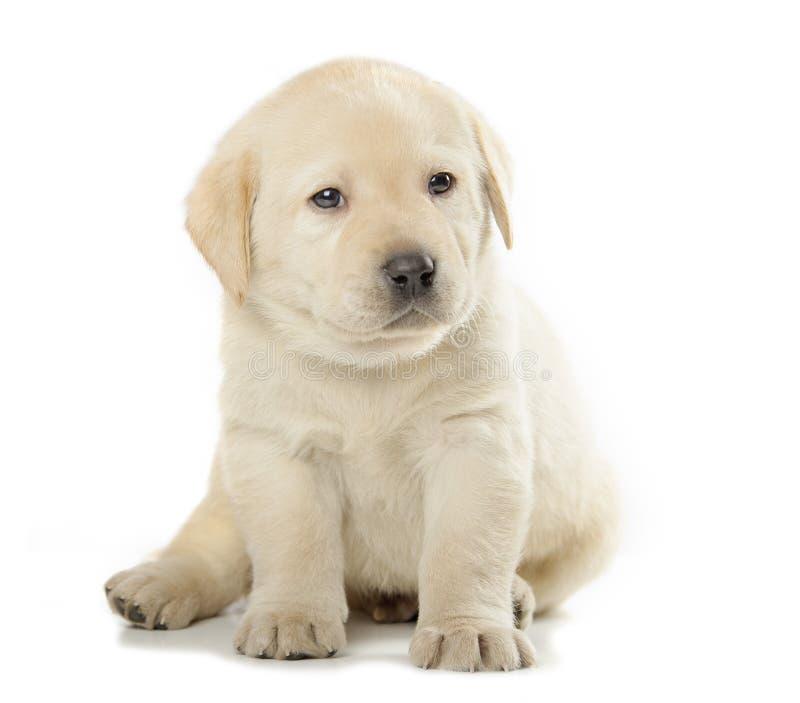 Labradora aporteru szczeniak zdjęcia stock