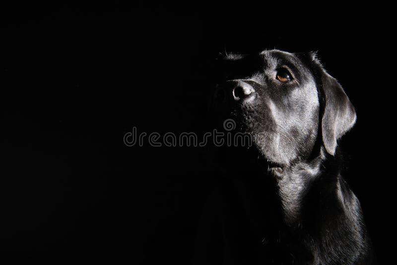 labradora czarny aporter fotografia royalty free
