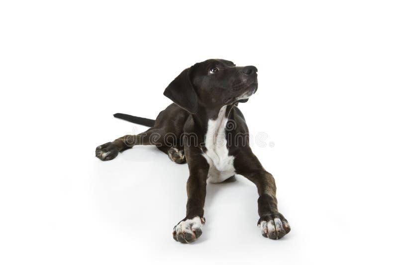 Labradora czarny szczeniak fotografia stock