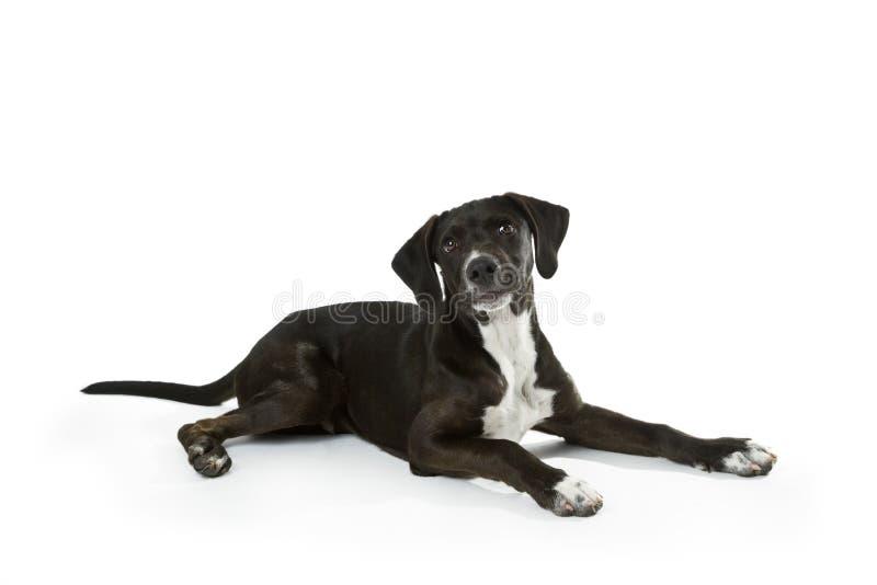 Labradora czarny szczeniak zdjęcia royalty free