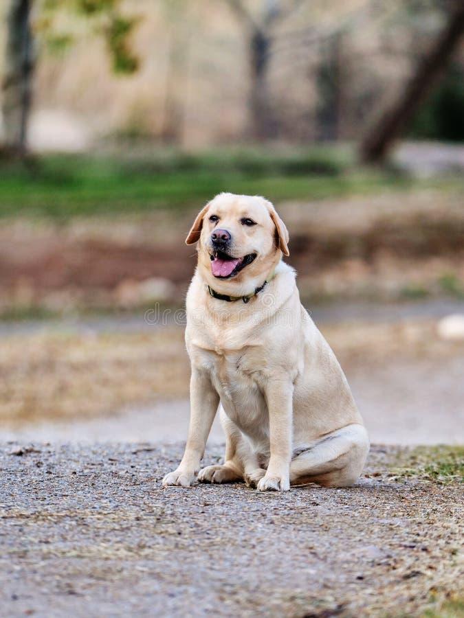 Labradora obsiadanie na ścieżce park zdjęcie royalty free
