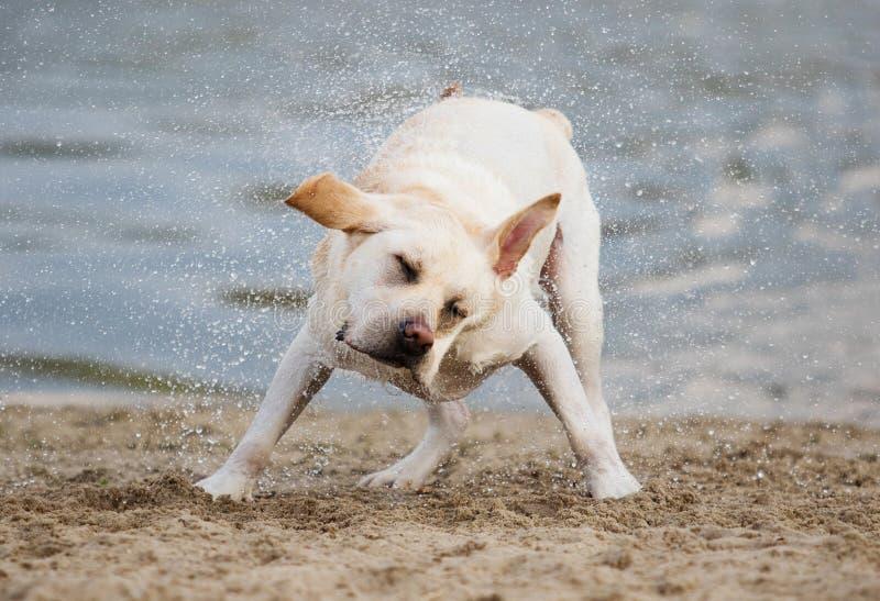 Labradora pies trząść kiść woda fotografia stock