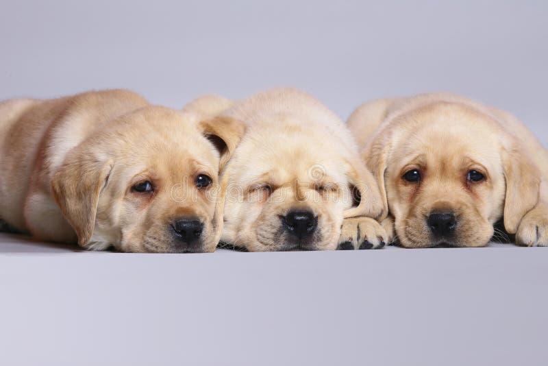 labradora szczeniaków aporter trzy zdjęcie royalty free