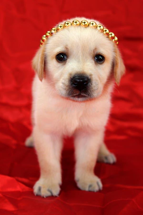 Labradora szczeniak z koroną zdjęcie stock