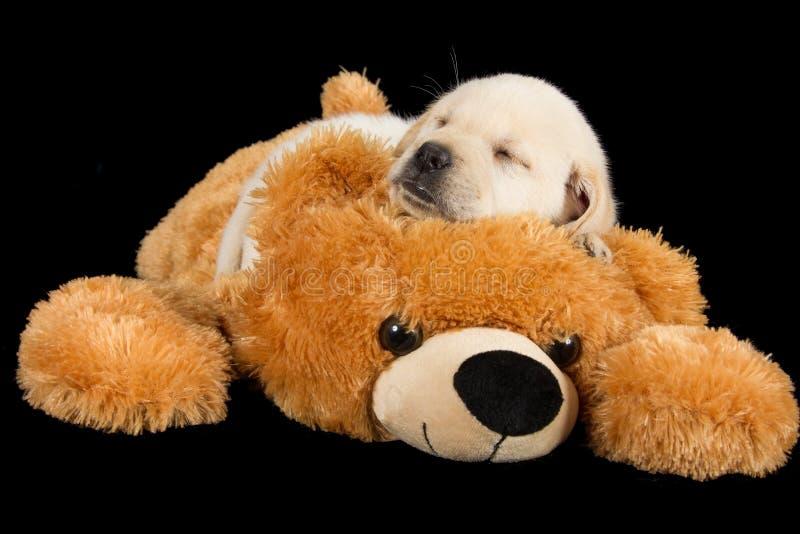 Labradora szczeniaka dosypianie na dużym brown misiu obraz stock