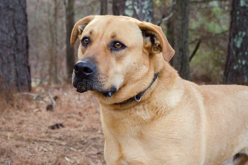 Labradora trakenu ampuły mastif mieszający pies zdjęcia stock