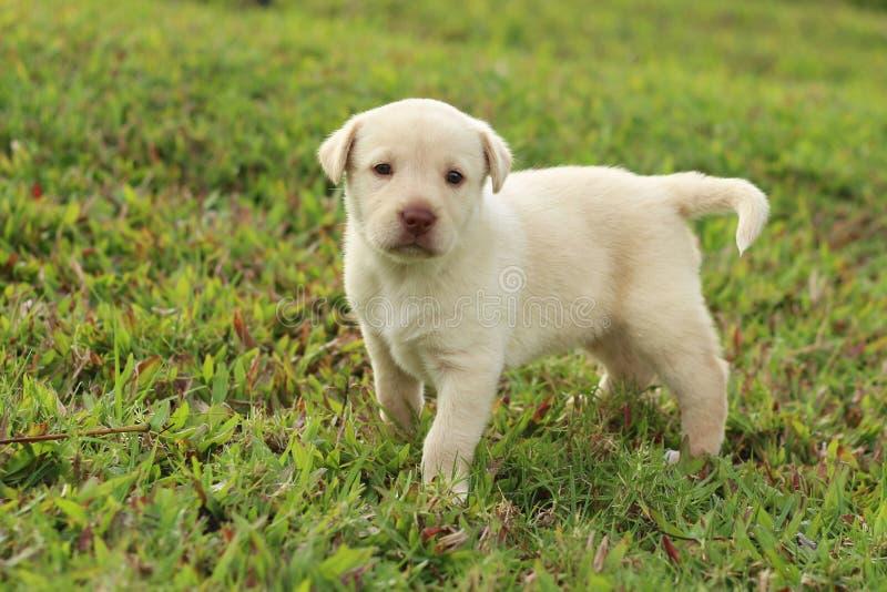 Labradorblandningvalp royaltyfria foton