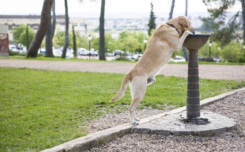 Labradordricksvatten från springbrunnen royaltyfri bild