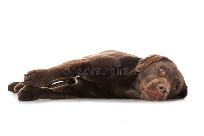 Labradorhond royalty-vrije stock afbeelding
