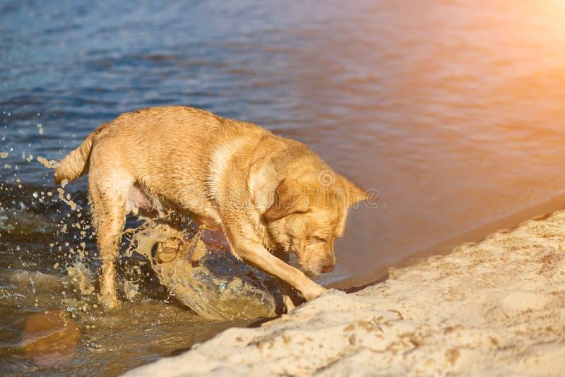 Labradorhond op strand Rode Retriever gravende kuil Zongloed royalty-vrije stock foto's
