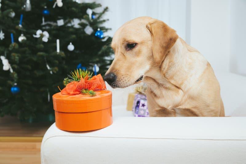 Labradorhund som ser julgåvan arkivbild