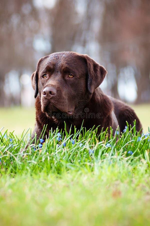 Labradorhund utomhus royaltyfri fotografi