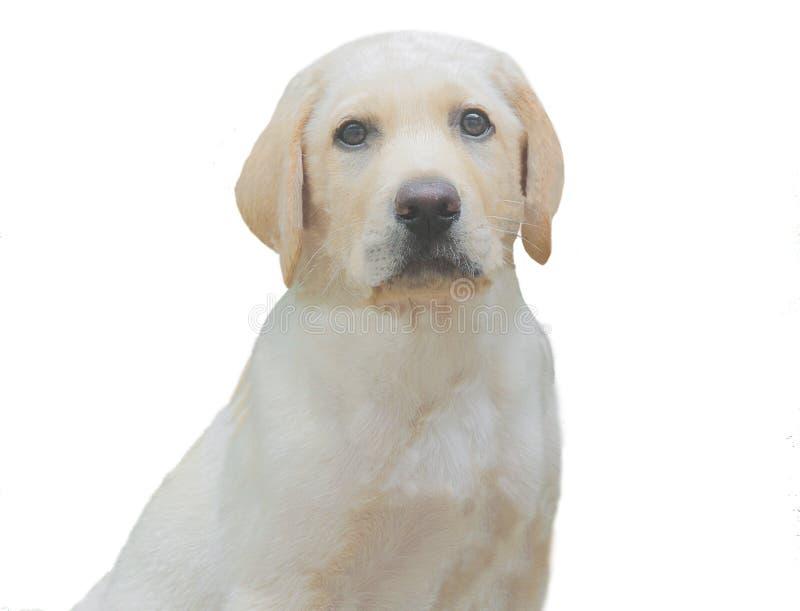 Labradorhusdjurhund med vit bakgrund arkivbilder