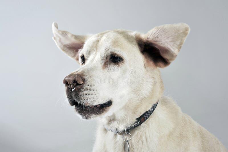 Labradorportret met vliegende oren in witte studio royalty-vrije stock foto