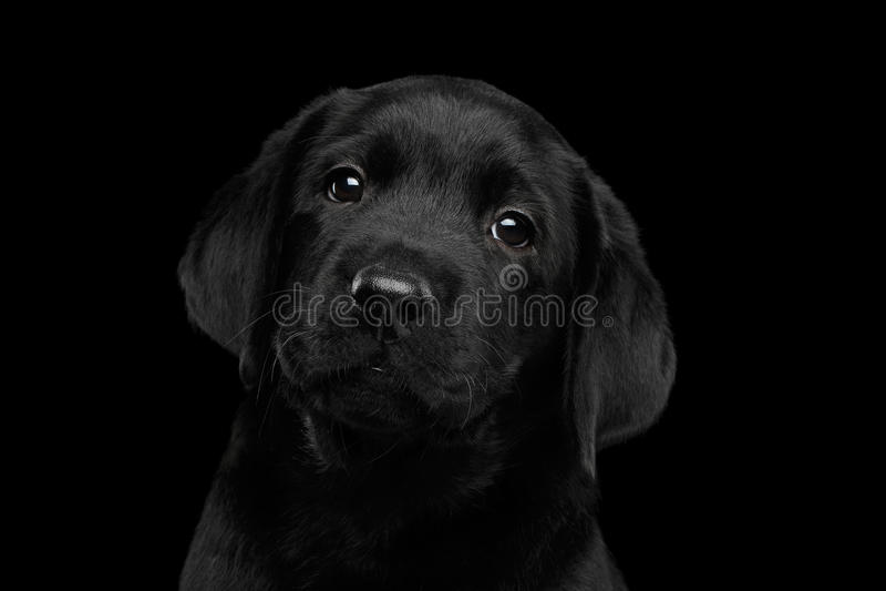 Labradorpuppy op zwarte achtergrond wordt geïsoleerd die stock fotografie