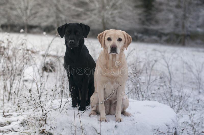 2 labradors в снеге стоковые изображения rf