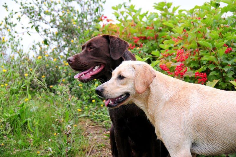 Labradors imagen de archivo libre de regalías