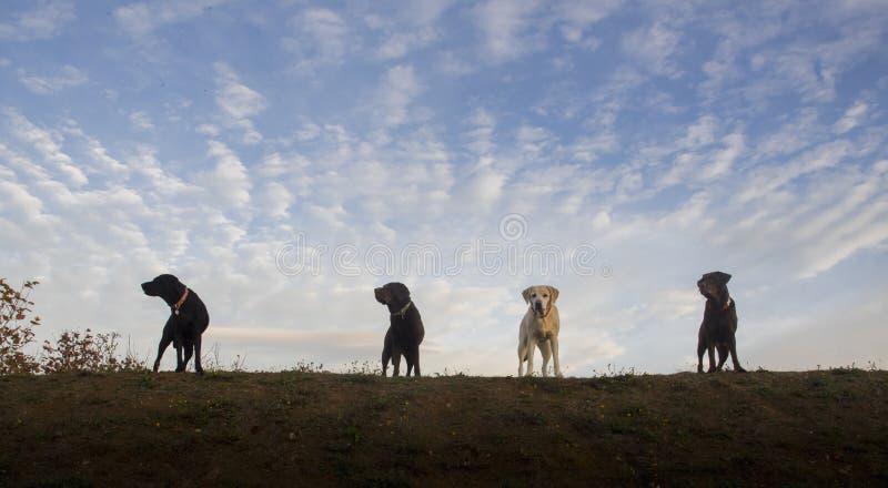 4 labradors стоковые фотографии rf