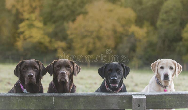 4 labradors стоковое изображение