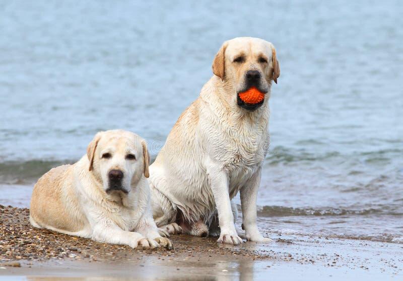 Labradors al mare con una palla immagini stock
