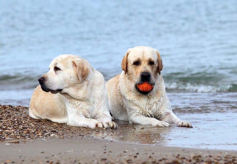 Labradors al mare con una palla fotografie stock