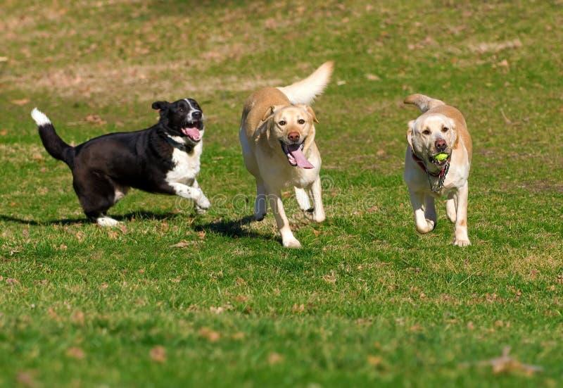 Labradors che gioca con una palla fotografia stock libera da diritti