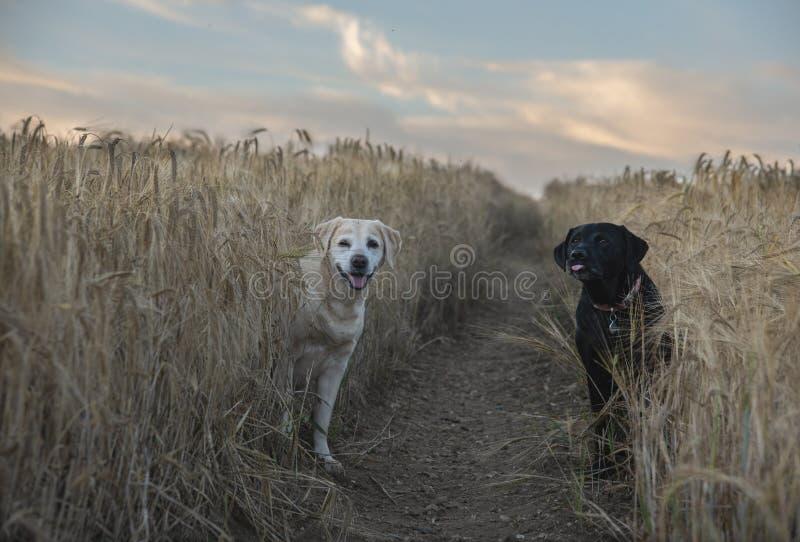 Labradors en campo de la cebada imagen de archivo libre de regalías