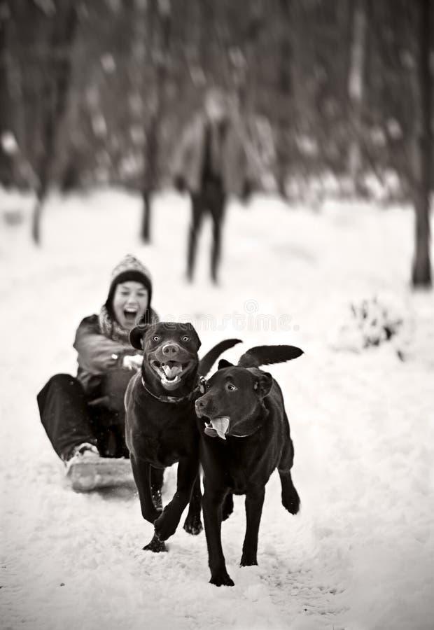 Labradors Pulling Girl on Sledge royalty free stock photo