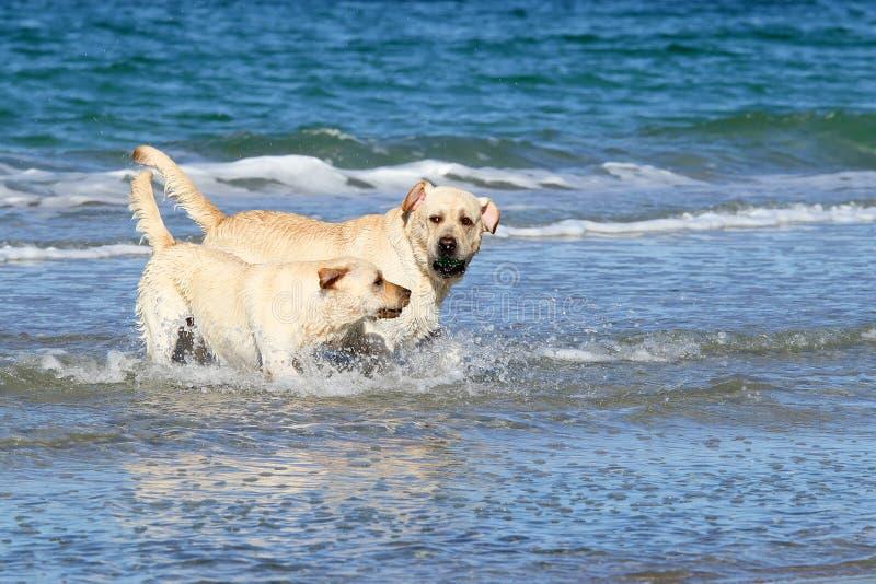 Labradors svegli al mare con una palla fotografia stock