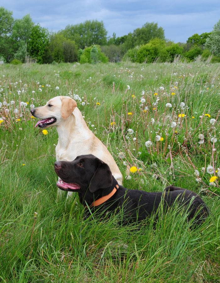 Labradors in un prato fotografia stock libera da diritti