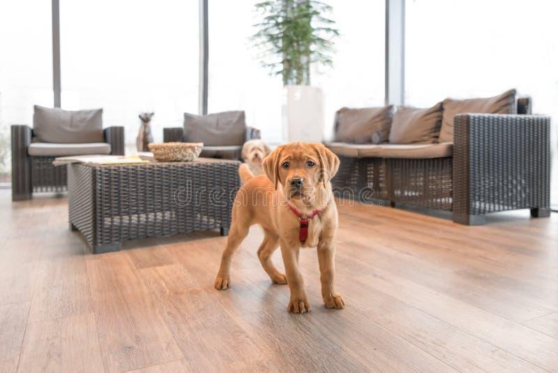 Labradorvalp i det väntande rummet av en modern veterinär- övning royaltyfria bilder
