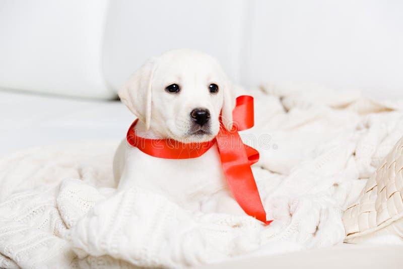 Labradorvalp med det röda bandet på hans hals royaltyfria foton