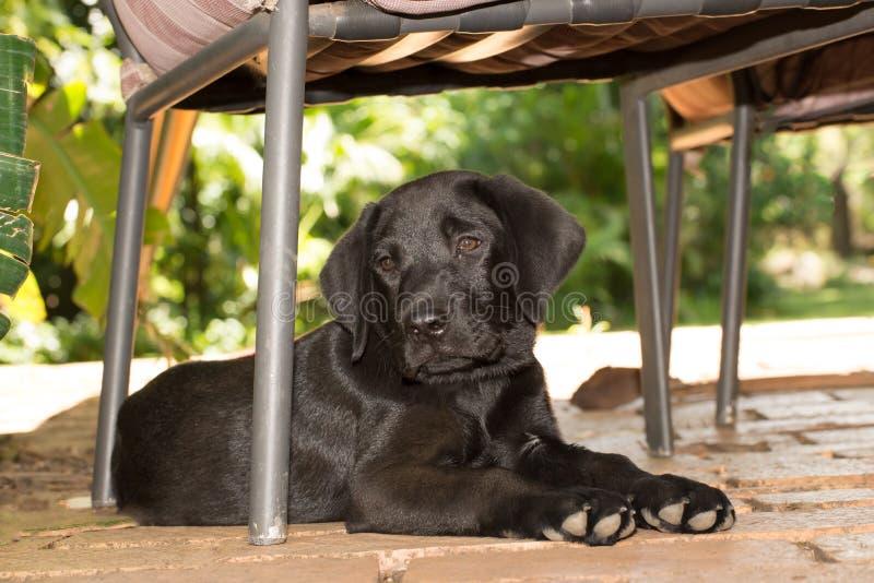 Labradorvalp under stol royaltyfria bilder