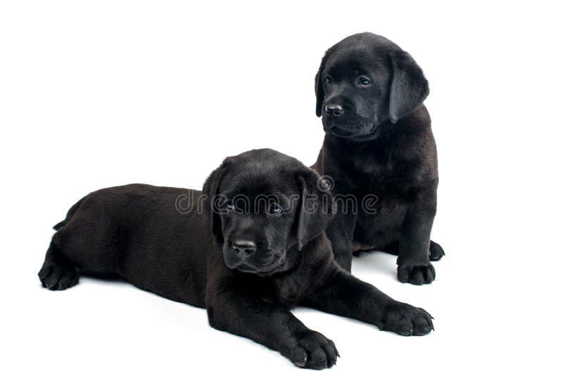 Labradorvalpar är svarta arkivbilder