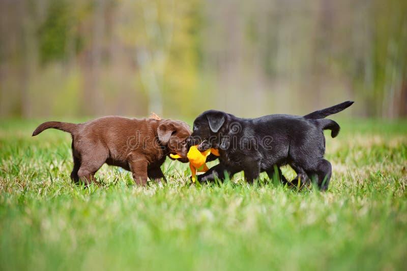 Labradorvalpar som tillsammans spelar royaltyfri bild