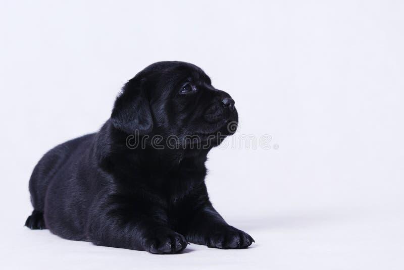 Labraor retriever puppy stock images