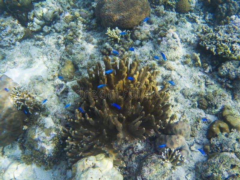 Labro comune blu del pesce nel corallo giallo sul fondo del mare tropicale Pesci di corallo blu immagine stock